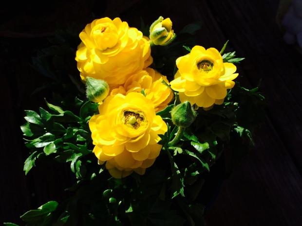 ranunculus spring garden annuals summer home