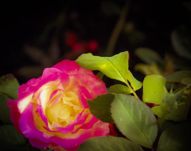 hybrid tea roses double delight  fertilizer spring summer  home