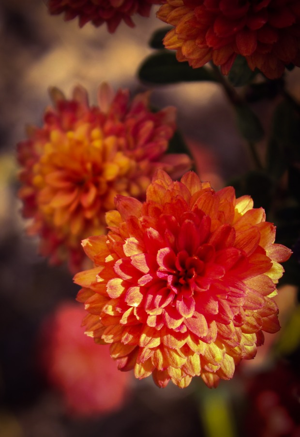 mums,spring,autumn,flowers photography,nature