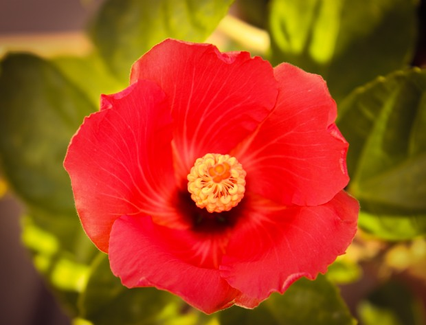 hibiscus tropical hawaii spring summer flowers garden home