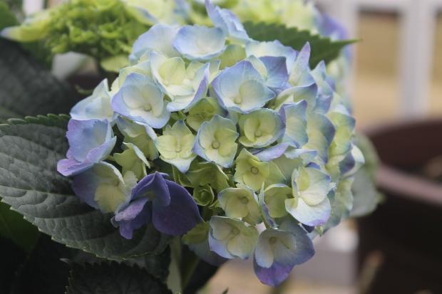 hydrangeas bulbs flowers spring summer fall garden home